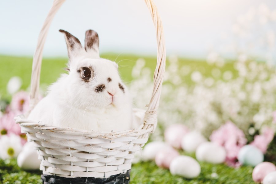 white rabbit sitting in easter basket PA5YMVG 900px